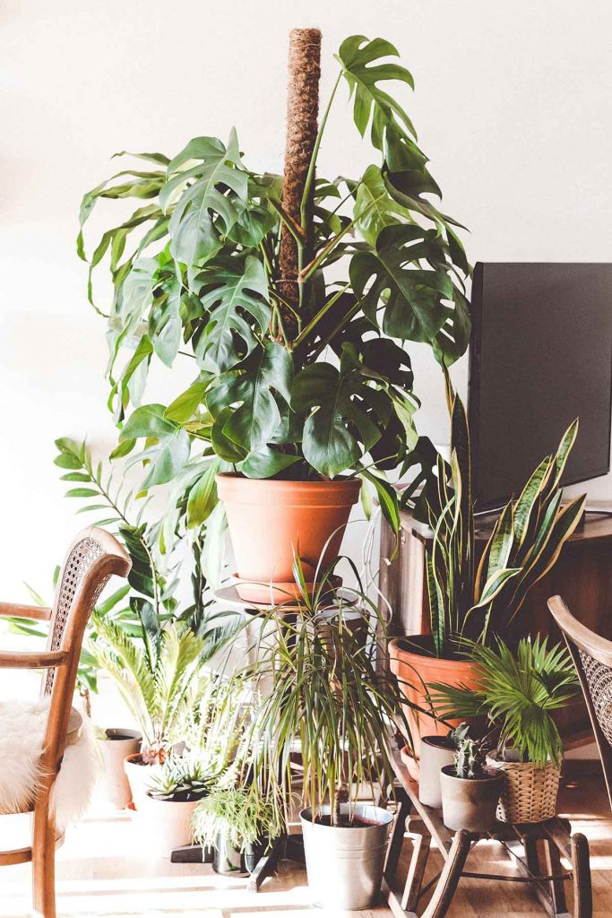 trendy-kamerplanten-monstera-deliciosa-cribio