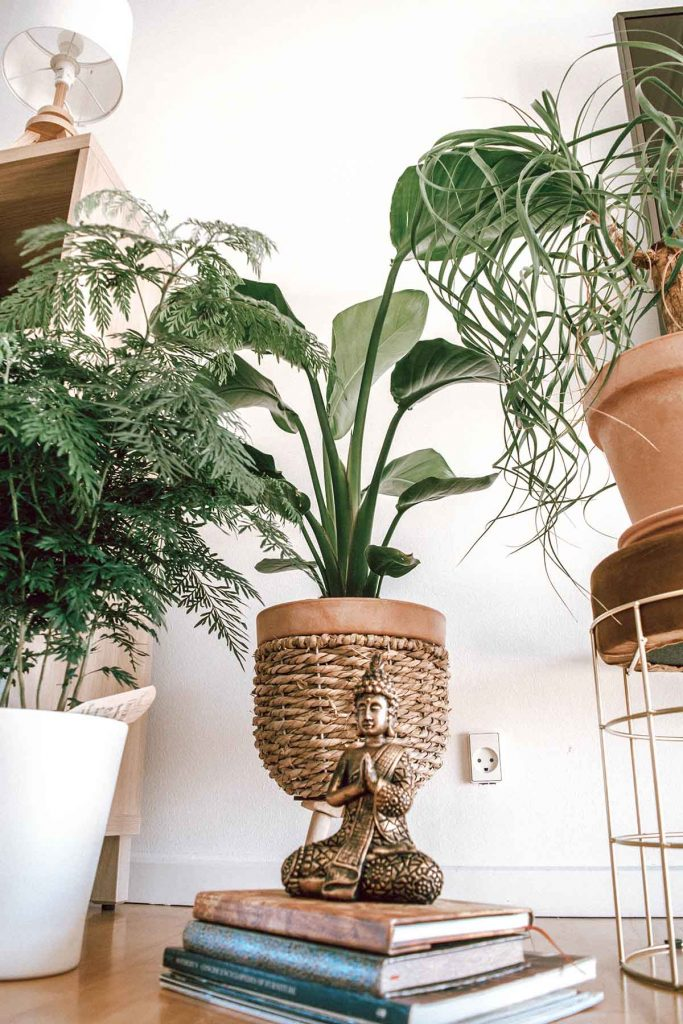 trendy-kamerplanten-strelitzia-cribio